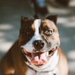 1932: American Staffordshire Terrier