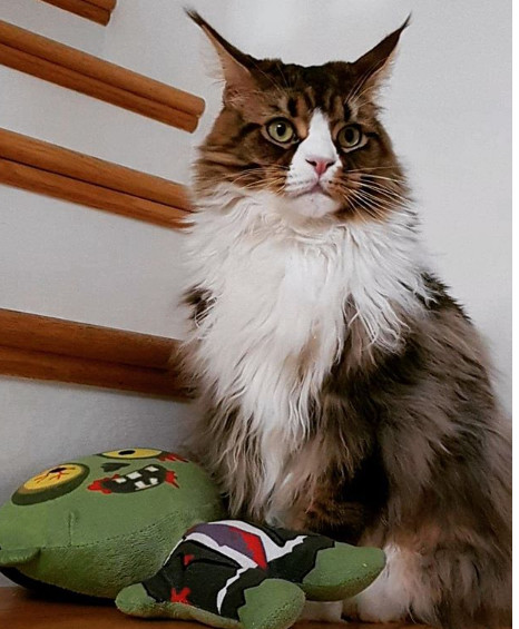 Most Popular Cats: No. 6 Maine Coon