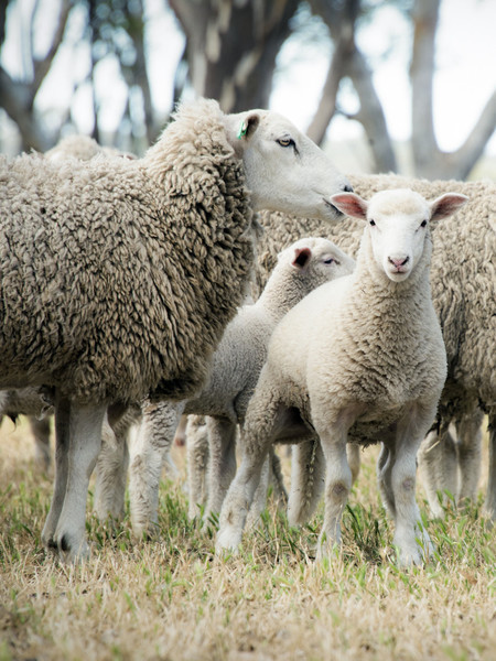 Dolly The Sheep Was Named After Her